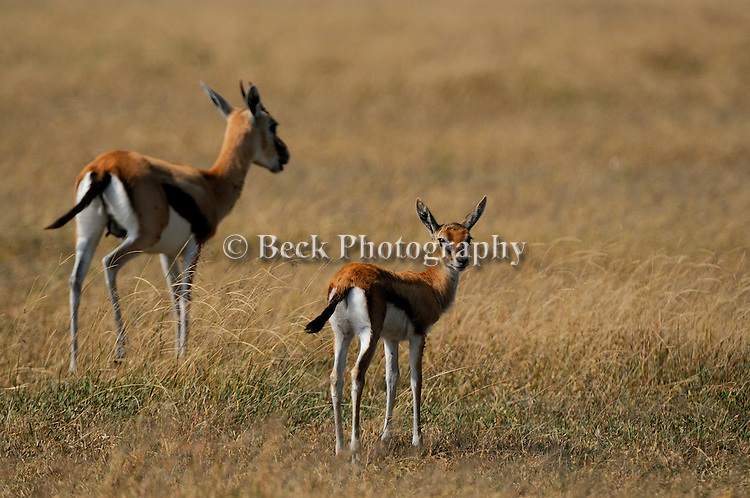 Africa Serengeti National Park Thomson's Gazelle
