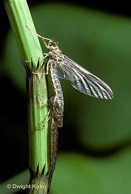 1E12-075x   Mayfly - subimago emerging from nymph - Siphlonisca aerodromia - endangered insect, Maine stream