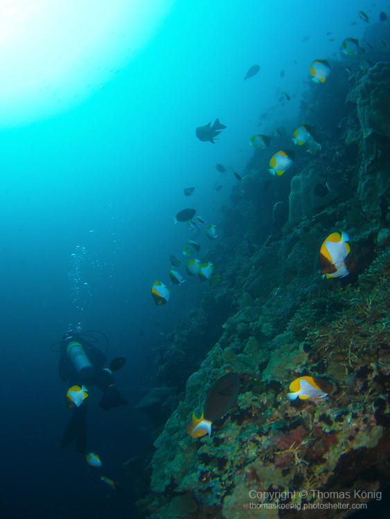 Apo Reef, Sulu Sea -- Butterflyfish on a sea mount.