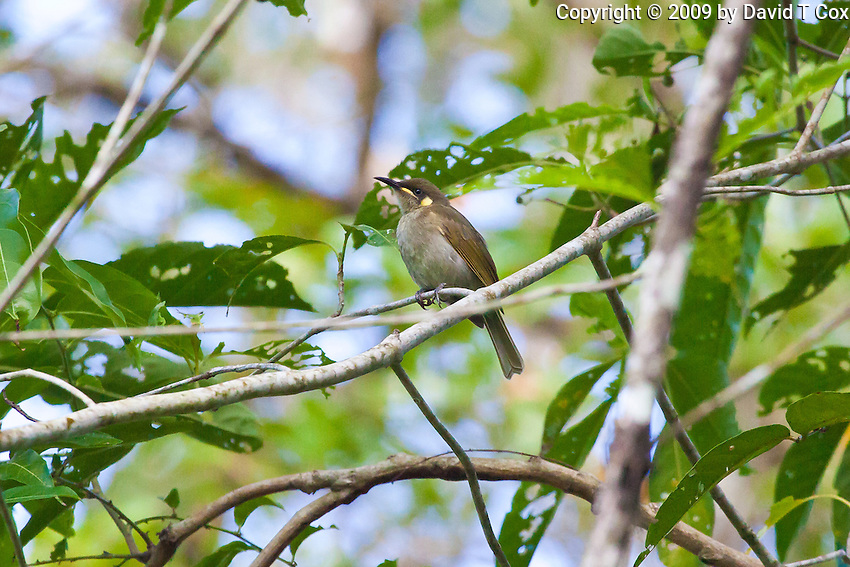 Yellow spotted Honeyeater, Daintree NP, Queensland, Australia