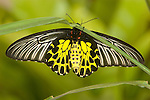 Golden Bird Wing Butterfly ( Troides aeacus malaiiansus)