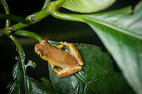 Probably an Hourglass Treefrog (Dendropsophus ebraccatus), Siquirres Costa Rica.