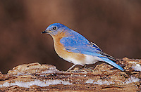 Eastern Bluebird, Sialia sialis,male on log with Ice, Burlington, North Carolina, USA, January 2005