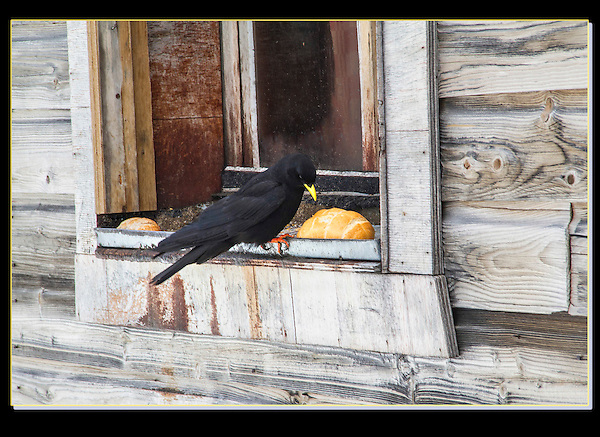 The raven agrees, the French make a might tasty bread. <br /> A hut above Chamonix, France. .  John leads private, wildlife photo tours throughout Colorado. Year-round.