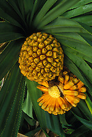 "Hala fruit, """"false pineapple"""" (pandanus odoratissimus)"