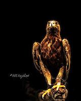 Golden Eagle Royal Deeside, Bill Bagshaw photography. www.dsider.co.uk