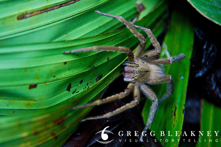 Tarantula near Termales Beach - Pacific Coast - Colombia