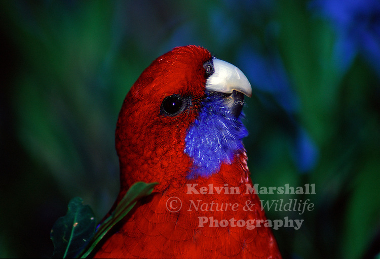 Crimson Rosella at O'Reilly's guest house, Lamington National Park in the subtropical rainforest hinterland of the Gold Coast, Australia.