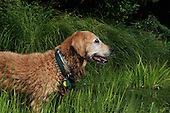 Golden Retriever is a hunting dog with a thick golden coat, used in retrieving waterfowl.