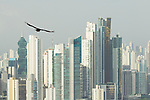 American Black Vulture (Coragyps atratus) flying near skyscrapers, Ancon Hill, Panama City, Panama