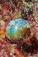 Sailor's eyeball algae, Valonia ventricosa, Bonaire, Caribbean Netherlands, Caribbean