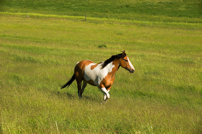 USA, WASHINGTON STATE, PALOUSE COUNTRY, NEAR PULLMAN, PINTO HORSE IN PASTURE