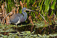 Tricolored Heron, Egretta tricolor, Everglades National Park, Florida