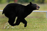 06/01/11--An adult black bear sprints eastward towards SW 95th Avenue fence from the soccer fields at Tualatin Elementary School to an open field....Photo by Jaime Valdez.........................................