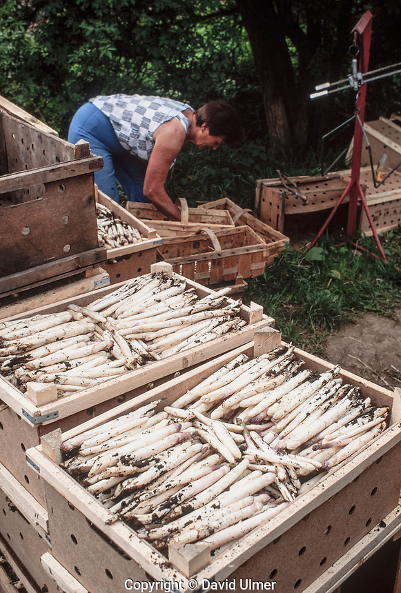 Boxes of white asparagus (spargel) are packed in boxes in the field at EBG Karl Marx communal farm, Grossfahner, East Germany 1990