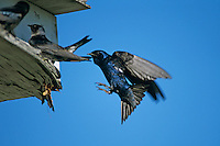 Purple Martin, Progne subis, male landing at nest box next to females, New Braunfels, Texas, USA, May 2001