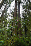 Rhododendron and redwoods, Stout Grove, Jedediah Smith State Park, California