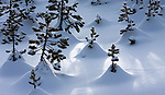 Pine (Pinus sp.) saplings in snowdrifts, Yellowstone National Park, Wyoming, USA<br /> <br /> Canon EOS-1D X, EF70-200mm f/2.8L IS II USM lens, f/18 for 1/1600 second, ISO 800
