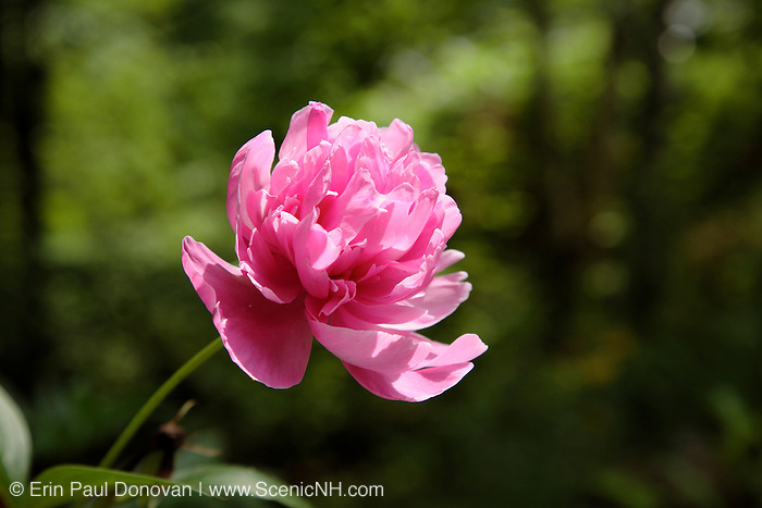 Peony Flower during the summer months in a New England garden