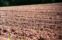 Senago (Milano). Germogli spuntano dal terreno di un campo agricolo --- Senago (Milan). Seedling sprouts getting out of the soil of a cultivated agricultural farm field