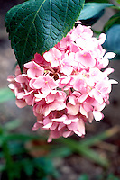 HYDRANGEA FLOWER COLOR VARIES WITH SOIL pH<br /> Pink in soil with basic pH.