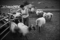 Europe/France/Aquitaine/64/Pyrénées-Atlantiques/Pays-Basque/Aussurucq: Aprés la traite au cayolar ean-Paul Erdozainy Etchart , berger, relache son troupeau de brebis en estive dans les paturages d'Ahusquy [Autorisation : 2011-127] [Autorisation : 2011-128]