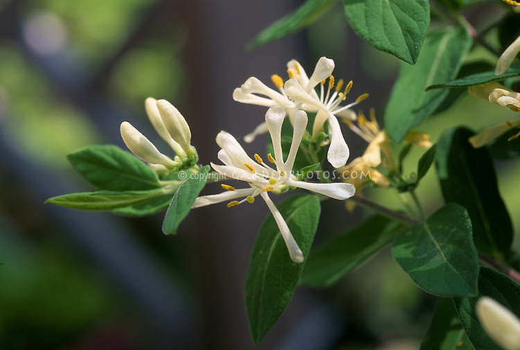 Lonicera oblongifolia - swamp fly honeysuckle, swamp honeysuckle, American native flowering shrub native to wetlands, swamps, bogs, very fragrant white flowers