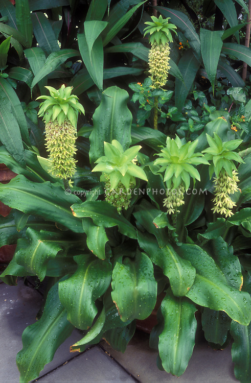 Eucomis bicolor (Pineapple Lily) summer flowering exotic bulb, makes dramatic plant specimen