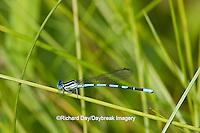 06067-001.06 Seepage Dancer damselfly (Argia bipunctulata) male in fen, Phelps Co., MO