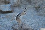 antelope ground squirrel