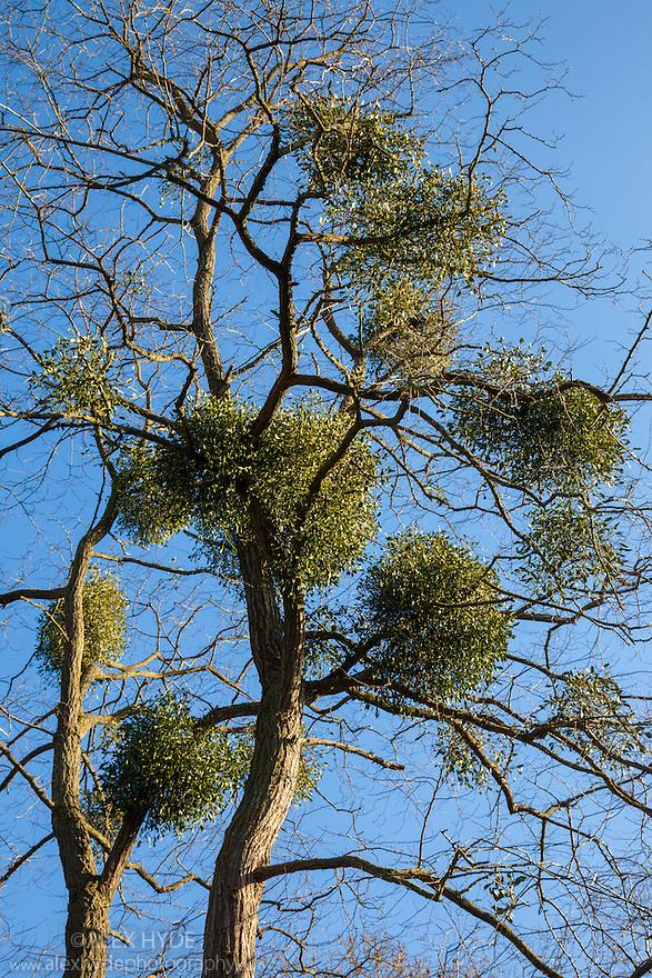 Mistletoe (Viscum album) infestation, Somerset UK. February.