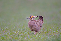 572110242 a wild lesser prairie chicken tympanuchus pallidicintus displays and struts on a lek on a remote ranch near canadian in the texas panhandle
