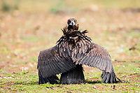 Black Vulture (Aegypius monachus) on the ground with wings stretched out and looking backwards, Extremadura, Spain, Europe