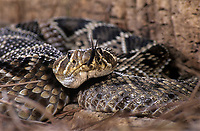 467004009 a captive eastern diamondback rattlesnake crotalus adamanteus lays coiled in striking position and sensing the environment with its tongue - species is native to the southeastern united states