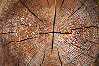 The cracked face of a timber log. Pine tree. Smaland region. Sweden, Europe.
