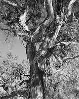 Black and White, Grandfather Tree molting in Ranch Park, Los Angeles