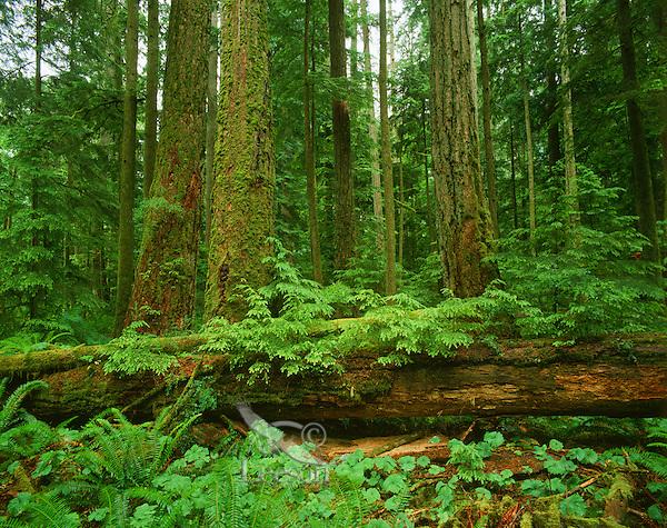 Nurse log in Douglas Fir Forest, Pacific Northwest.
