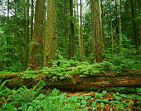 Nurse log in Douglas Fir Forest, Pacific Northwest.