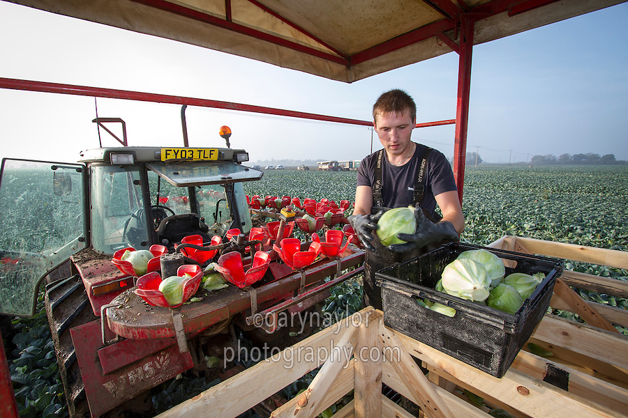 Harvesting white cabbage - Novemnber, Lincolnshire