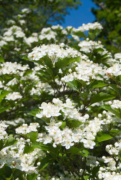 Crataegus viridis 'Winter King', green hawthorn tree in white flowers