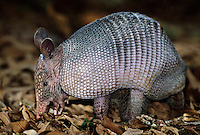 605500007 a wild nine-banded armadillo dasypus novemcintus forages in leaf litter on a private ranch in tamaulipas state mexico