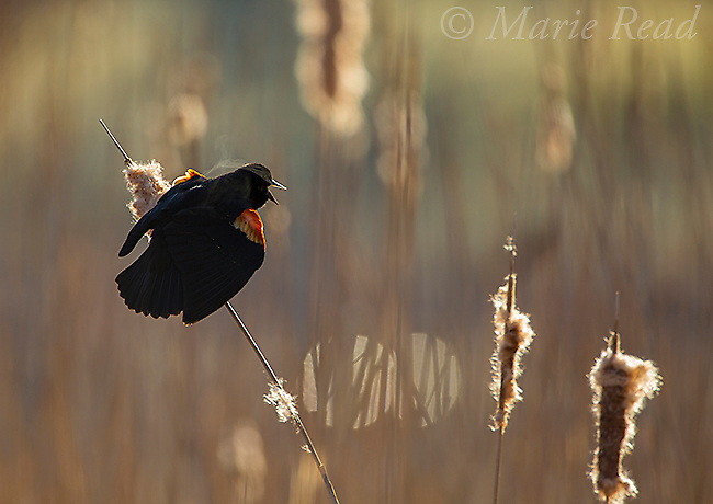 Red-winged Blackbird (Agelaius phoeniceus) male displaying in cattail marsh, backlighting, Ithaca, New York, USA