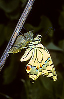 Schwalbenschwanz, Schwalben-Schwanz, Falter schlüpft aus Puppe, Gürtelpuppe, Metamorphose, Schlupf, Papilio machaon, Old World Swallowtail, common yellow swallowtail, swallowtail, swallow-tail, pupa, pupae, Le Machaon, Grand porte-queue