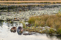 Three North American Beaver (Castor canadensis) at communal feeding area along edge of pond.  Northern Rockies,  Fall.  Beaver often have a regular (usually several) feeding area within their home territory where they will bring small limbs to feed on.  Note: the middle beaver is an adult while the other two are young ones born earlier in the year (probably four to five months old).