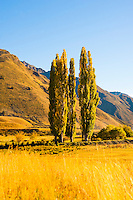 Autumn Landscape and Poplar Trees at Lake Moke, Queenstown, South Island, New Zealand. Lake Moke, 10km from Queenstown is both a stunning lake and a department of conservation campsite (DOC campsite) with access for both caravans and campervans. In the early mornings Lake Moke is often perfectly still providing picture perfect reflections of the surrounding hills and mountains in the water. The combination of a fabulous golden hour as the sun rose over the hills, the morning mist lifting from the lake, and the rich, orange, autumn trees made this nights camping at the Lake Moke department of conservation campsite (DOC campsite) particularly special.