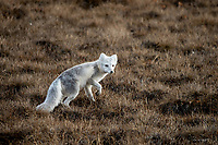 An arctic fox whose coat begins to transition from winter white to summer brown makes its way across Arctic tundra as spring arrives on Alaska's north slope.
