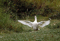 White goose with wings spread. Tuscaloosa Alabama.
