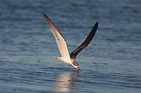 Black Skimmer (Rynchops niger) - Juvenile skimming for fish, Nickerson Beach, Lido Beach, NY