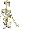 An anterolateral view (right side) of the bones of the upper body. Royalty Free