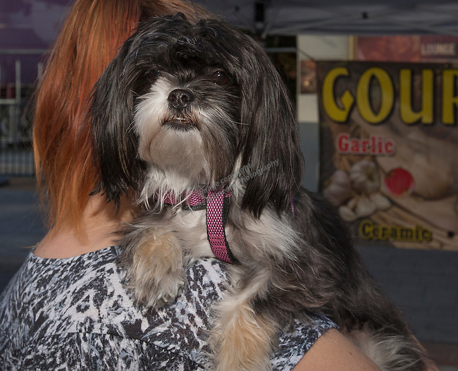 Patches the dog at the 35th Annual Eldorado Great Italian Festival held in downtown Reno on Saturday, October 8, 2016.